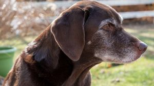 Old chocolate lab dog with graying hair on face