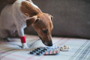 Dogs in pain may need medications