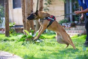 Police dog exhibiting dog aggression towards people by lunging