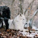 two wolves on a snowy day