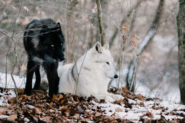 Solving dog behavior issues, two wolves on a snowy day