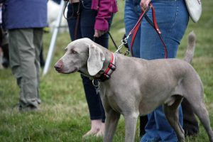 Old Weimaraner dog on leash with his owner