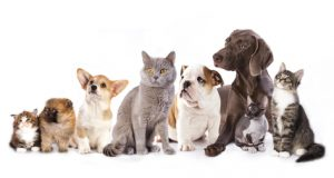 Weimaraner puppy with other cats and dogs